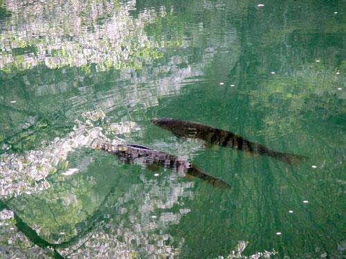 半田沼に写る桜と魚
