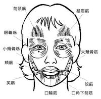 お顔の筋肉