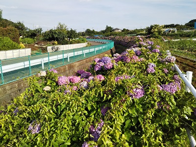 都筑一のアジサイ群生地「大熊川のアジサイ緑道」今年は当たり年!
