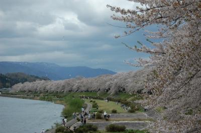 桧木内川堤防の桜