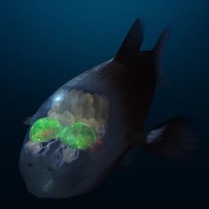 頭が透明な深海魚 バレルアイ
