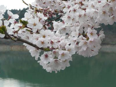満開の桜と奥多摩湖