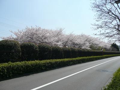 東芝町の桜