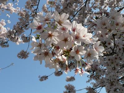 郷土の森の桜