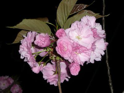 満開前の八重桜