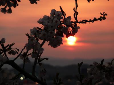 5分咲き?のサクラと夕焼け