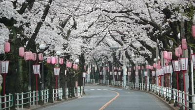 朝の桜通り