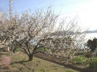 大芝島に咲く梅の花