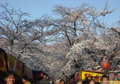 道の両側に桜