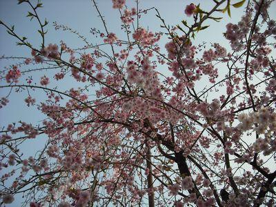 空から降るしだれ桜