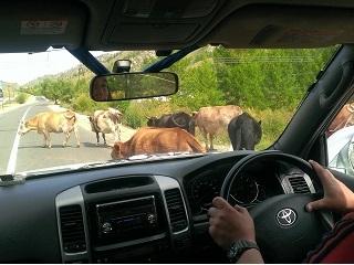 牛に行く手を阻まれる