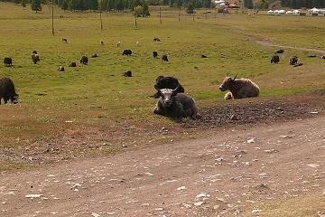 テレルジの放牧地
