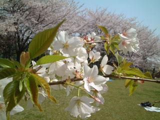 桜-東小菅2