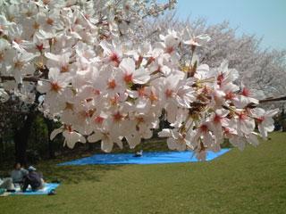 桜-東小菅3
