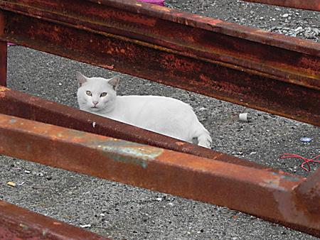 真っ白なネコ