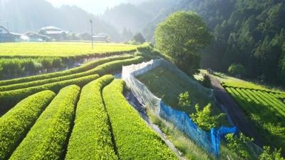 奥川根の茶畑