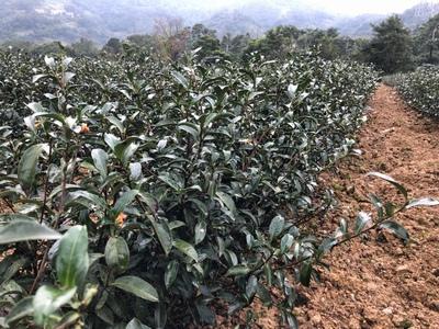 台湾 茶畑