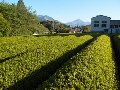 2019年新茶期茶畑