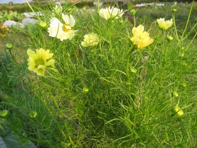 中村さんの珍しい黄色いコスモス