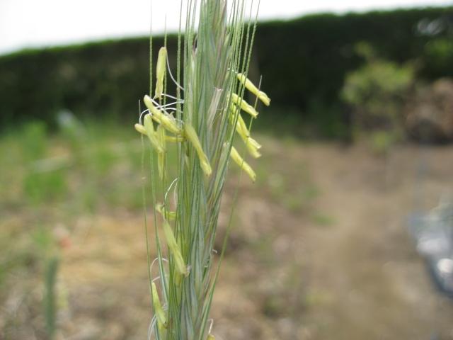 ライ麦の花