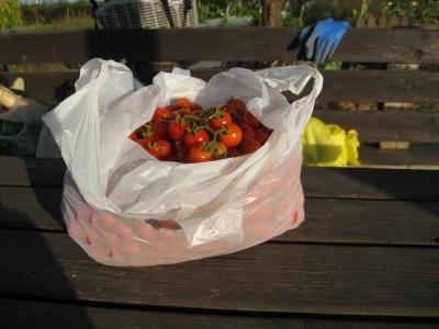 半分は拾いトマト