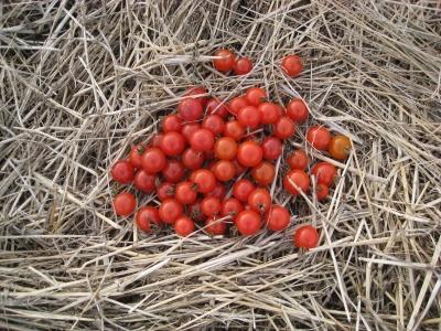 藁のベットで可愛いトマト