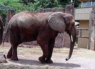 多摩動物公園のアフリカ象