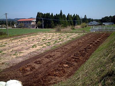 ブルーベリー園苗植え完了