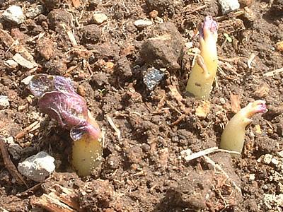 ジャガイモノ芽