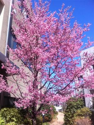 港南台の桜