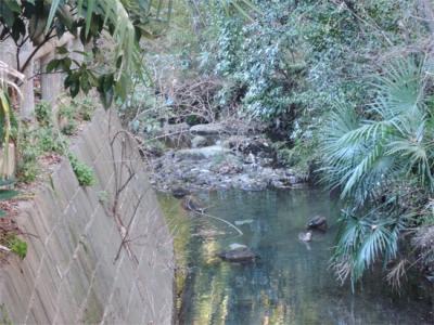 いたち川の鴨