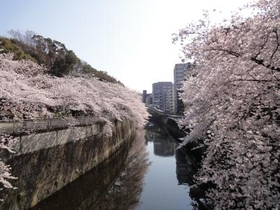 江戸川公園 桜
