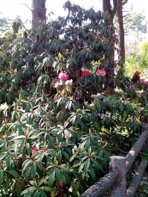 六甲高山植物園 ヒマラヤのしゃくなげ