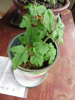 プチトマトも育つ。