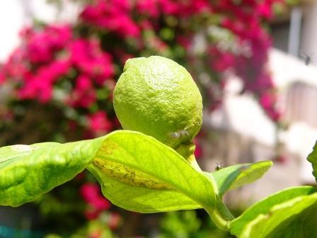 庭 レモン