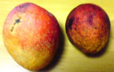 manngo-1