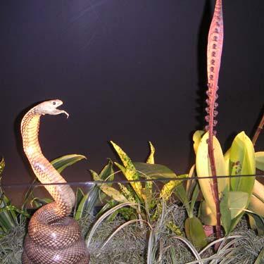 Cobra Orchid