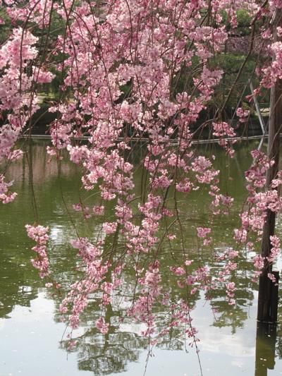 kyouto Sakura