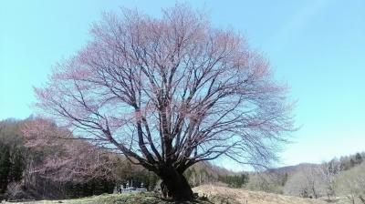 天王桜2017 の巻