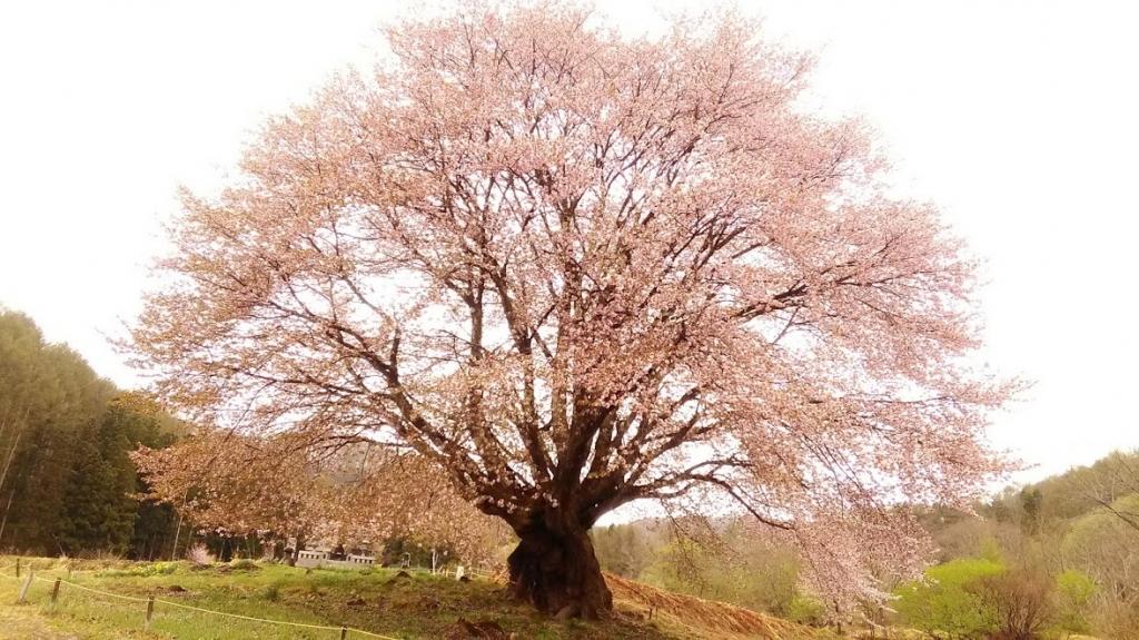 天王桜満開 の巻