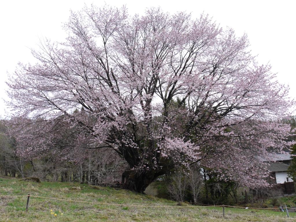 令和初 天皇桜 情報 の巻
