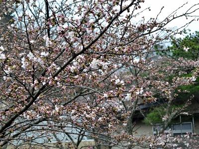2016 桜 1