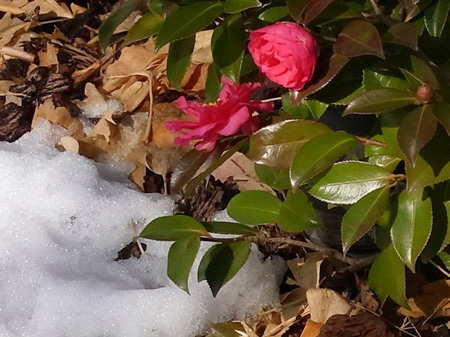 雪と椿 膝下丈で咲く椿を初めて見た!