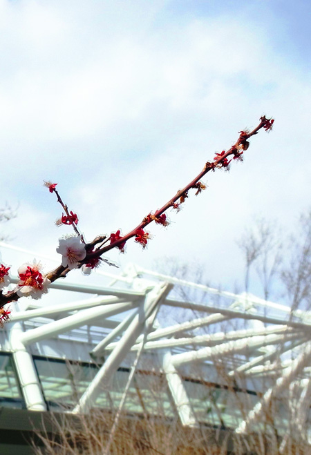 味スタの青空に咲く梅の花