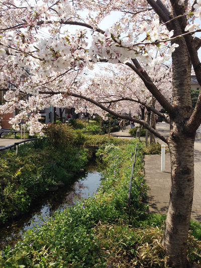 桜、花見、緑道、ナンセンス下北沢