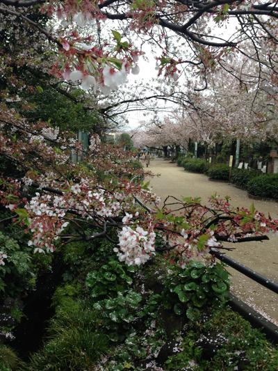 桜2015、花筏、下北沢緑道、葉桜
