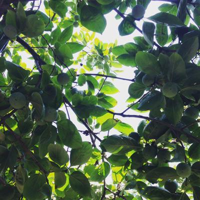柿の木、夏の終わり、旬、秋色、秋風