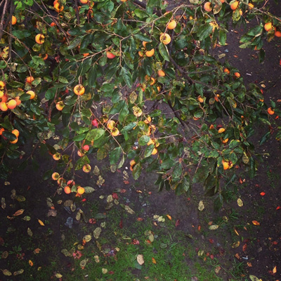 文化の日、祝日営業、秋、紅葉、自然、柿の木、ナンセンス下北沢