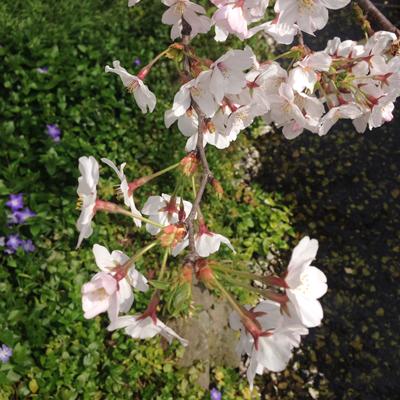 下北沢、ナンセンス下北沢、北沢緑道、桜、花見