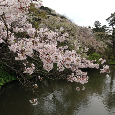 三渓園、苔、桜、日本庭園、2016春、池